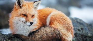 Obrázek lišky se zřetelným obrazem v rozlišením 4K